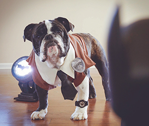Halloween Costumes - Gordon the English Bulldog